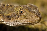 Young Water Dragon