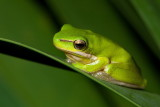 Reed Frog or Eastern Dwarf Tree Frog