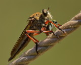 Robber Fly and Prey