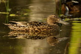 Shoverller Duck - Female