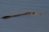 4½ Metre Saltwater Crocodile with Turtle