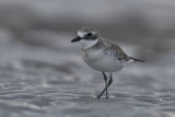 Red Capped Plover - Female