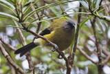 Bellbird at Leeston