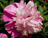 0182 Pink Peony.jpg