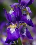 0187 Purple Iris.jpg