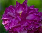 0189 Pink Peony.jpg