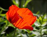 0194 Poppy.jpg