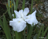 0291 White Iris.jpg