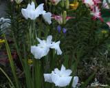 0294 White Iris.jpg