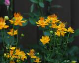 0305 Globe Flower.jpg