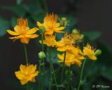 0314 Globe Flower.jpg