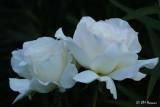 0319 White Roses.jpg