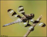 0510 Twelve-spotted Skimmer male.JPG