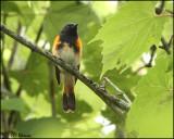 0534 American Redstart male_edited-1.jpg