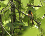 0538 American Redstart male_edited-1.jpg