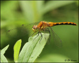 0575 White-faced Cherry-faced or Ruby Meadowhawk sp female_edited-1.jpg