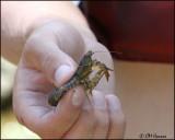 0645 Crayfish.jpg