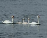 0755 Mute Swan family.jpg