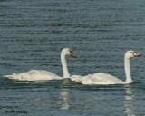 0767 Mute Swan signets.jpg