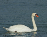 0772 Mute Swan.jpg