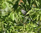 0919 Gray Catbird.jpg