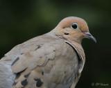 0992 Mourning Dove.jpg