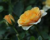1004 Roses.jpg