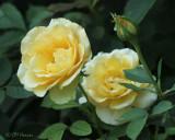 1007 Yellow roses.jpg