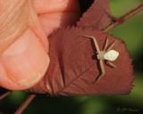 1081 Crab Spider.jpg