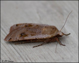 0029 Moth sp.jpg