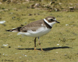 1418 Semipalmated Plover.jpg