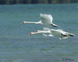 1712 Mute Swans.jpg