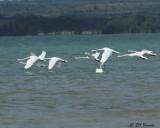 1721 Mute Swans.jpg