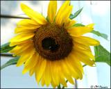 1873 Sunflower.jpg