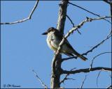 1900 Thick-billed Kingbird.jpg