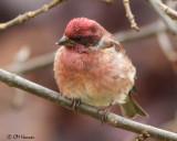 2258 Purple Finch male.jpg