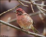 2262 Purple Finch male.jpg