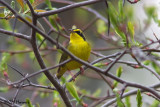 7889 Kentucky Warbler.jpg