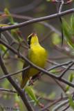 7896 Kentucky Warbler.jpg