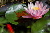 8146 Water Lily and goldfish.jpg