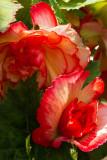 8159 Begonias.jpg