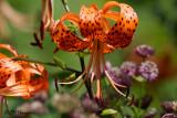 8186 Tiger Lily.jpg