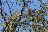 8252 Field Sparrows.jpg