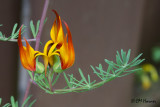 8355 Parrot flower.jpg