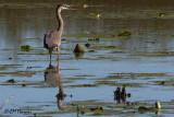 8365 Great Blue Heron.jpg