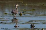8367 Great Blue Heron.jpg