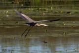 8373 Great Blue Heron.jpg