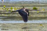 8382 Great Blue Heron.jpg
