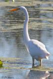 8411 Great Egret.jpg