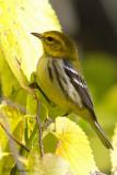 8632 Black-throated Green Warbler.jpg
